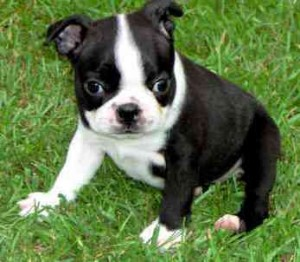 Black & White Female Boston Terrier
