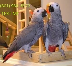 Cute Pair of African Grey