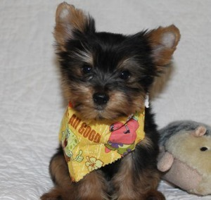 XMass Teacup Yorkie for Free Re-homing