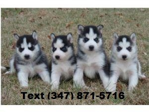 Siberian Huskies Available