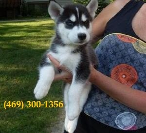 Fantastic Siberian Husky Pups Available
