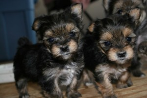Wanting to have tea-cup yorkie puppies for X-mas ??