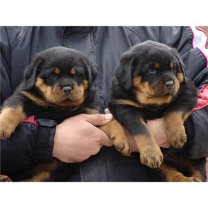 Rottweiler Puppies for Christmas!