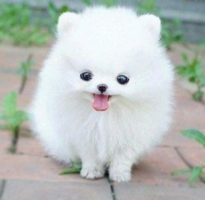 Micro Teacup Pomeranian Puppies For Sale In Texas
