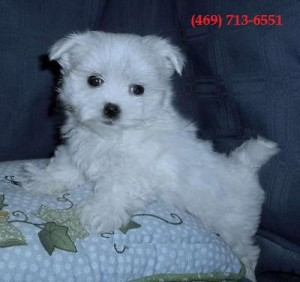 Cute and Gorgeous Maltese Puppies Available