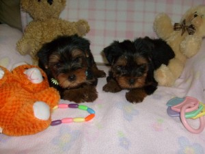 Adorable ACA Yorkshire Terrier Puppies