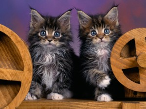 Maine coon cats for sale mi