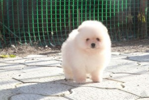 Pomeranian Puppiess for Adoption