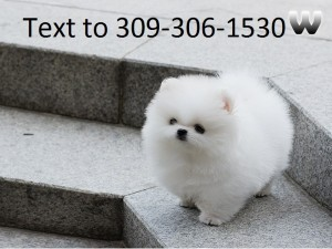 Teacup Pomeranian Puppies - Albuquerque, NM | ASNClassifieds