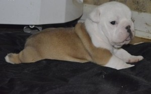 English Bulldog Puppies Available for Adoption