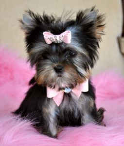 Teacup Yorkie Puppies For Adoption Bakersfield Ca Asnclassifieds
