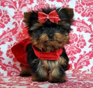 Super Teacup Yorkie Puppies For Adoption Augusta Ga Asnclassifieds