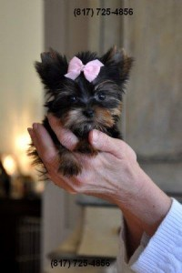 Affordable Micro Teacup Yorkie Puppies Bourbonnais Il