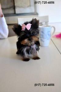 Tiny Teacup Yorkie Puppy for Sale - Grand Rapids, MI | ASNClassifieds