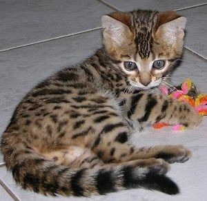 Bengal cats for sale in yuba city ca