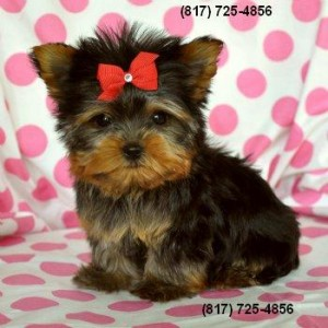 Teacup Yorkie Yorkshire Terrier Puppies For Sale Winter Haven