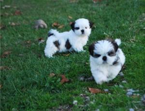 Shih Tzu Puppies El Paso Tx Asnclassifieds