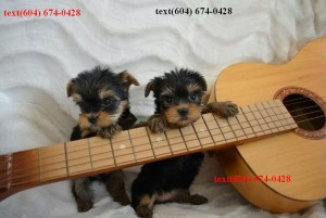 2 Yorkie Puppies for Sale