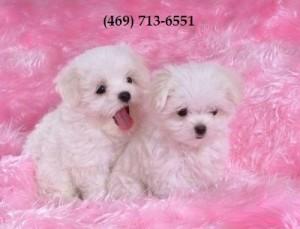 Loving Teacup Maltese Puppies