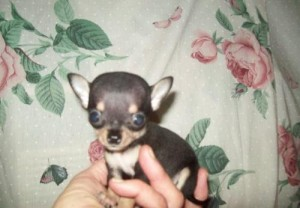 Healthy Registered Chihuahua Puppies
