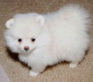 Affectionate and Affordable Teacup Pomeranian Puppies