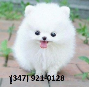 Pom Puppies for Sale
