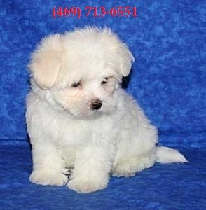 T-cup Maltese Puppies