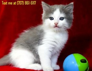 Bicolor Male Ragdoll Kitten