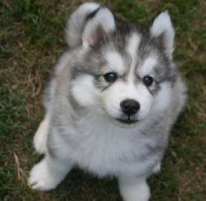 Blue eyed Siberian Husky puppies for adoption