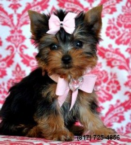 Teacup Yorkie/ Yorkshire Terrier Puppy!