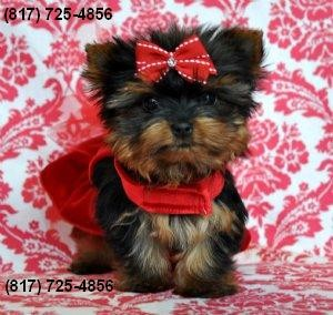 Adorable Male Yorkie for Sale