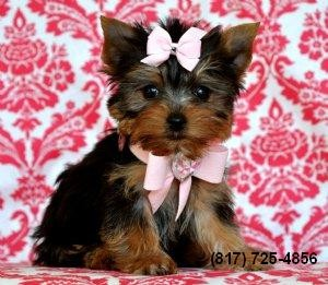Yorkies Yorkshire Terrier