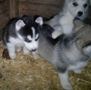 100% Husky Puppies