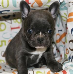Outstanding French Bulldog Puppies - Corpus Christi, TX