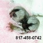 Hand Raised Pygmy Marmoset Monkey for Sale