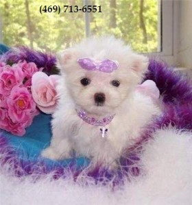 Friendly Teacup Maltese Puppies