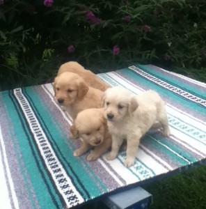 Adopt a purebred golden retriever puppy