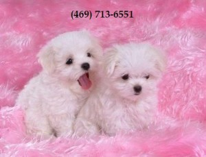 White Teacup Maltese Puppies