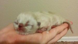 CFA Himalayan Kittens - Phoenix, AZ | ASNClassifieds