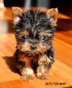 Teacup Yorkie Puppies - Greenville, MS | ASNClassifieds
