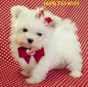Awesome Teacup Maltese Puppies Available
