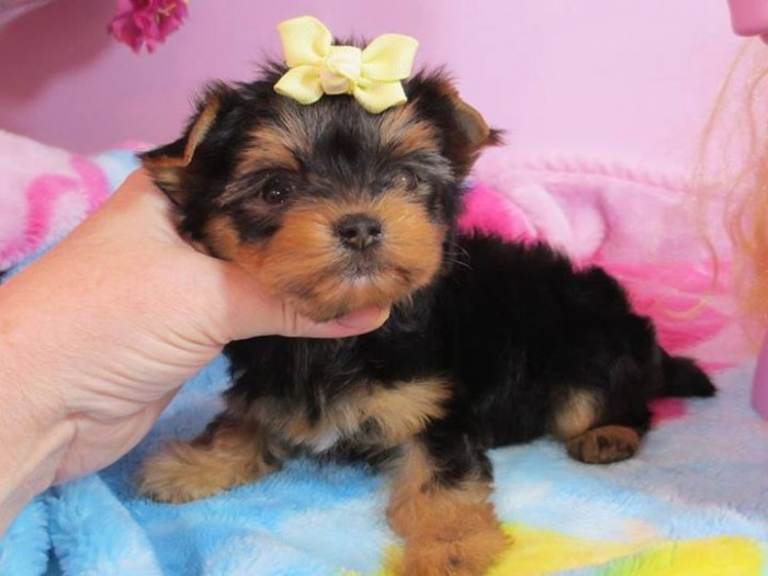 Garden City, KS. Cute and Lovely Yorkie Puppies