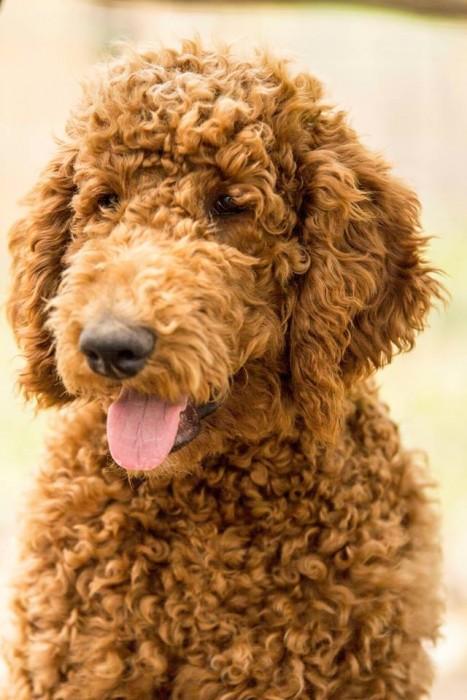 Akc Standard Poodles And F1b Labradoodles Des Moines Ia