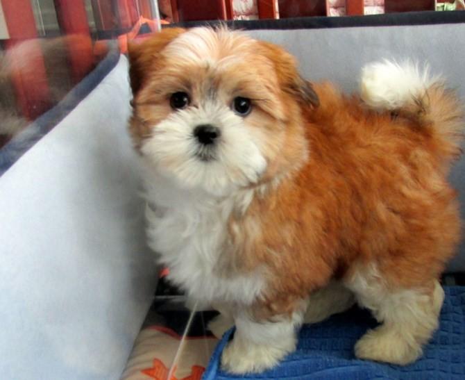 Cute Maltese X Shihtzu Hybrid 50 50 Cross Puppies Miami Fl