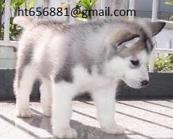 Siberian Husky Now Available
