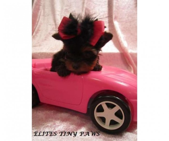 A loyal, affectionate, Teacup Yorkshire Terrier!