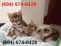 Tica Rosetted Bengal Kittens for Sale