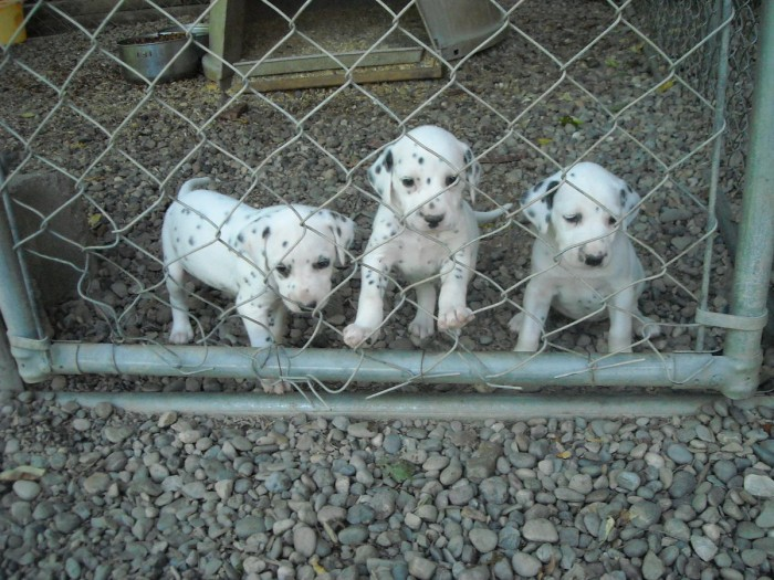 Dalmatian Puppies For Sale San Diego Ca Asnclassifieds