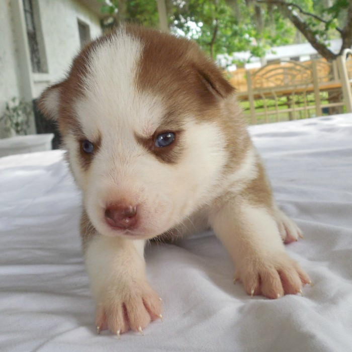 Beautiful Light Red Husky Puppy With Blue Eyes Tampa Fl