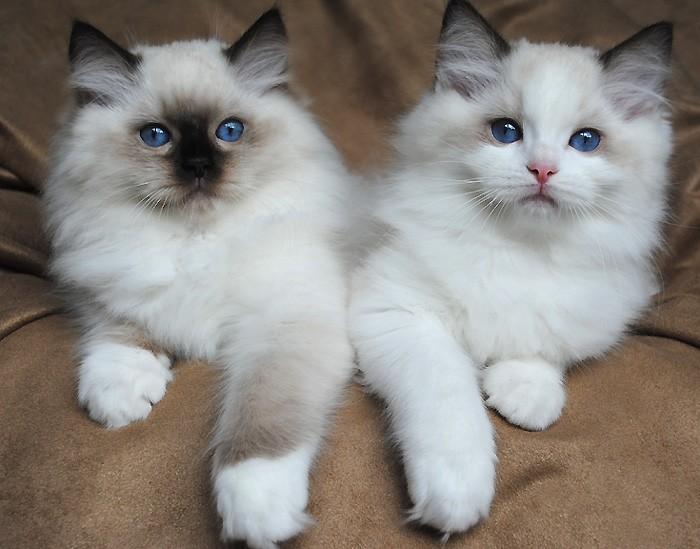 Ragdoll cats for sale in iowa